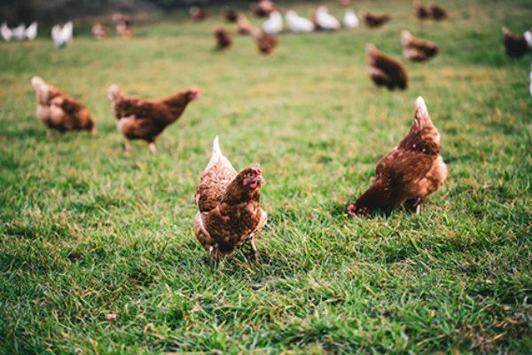 influenza_aviaire